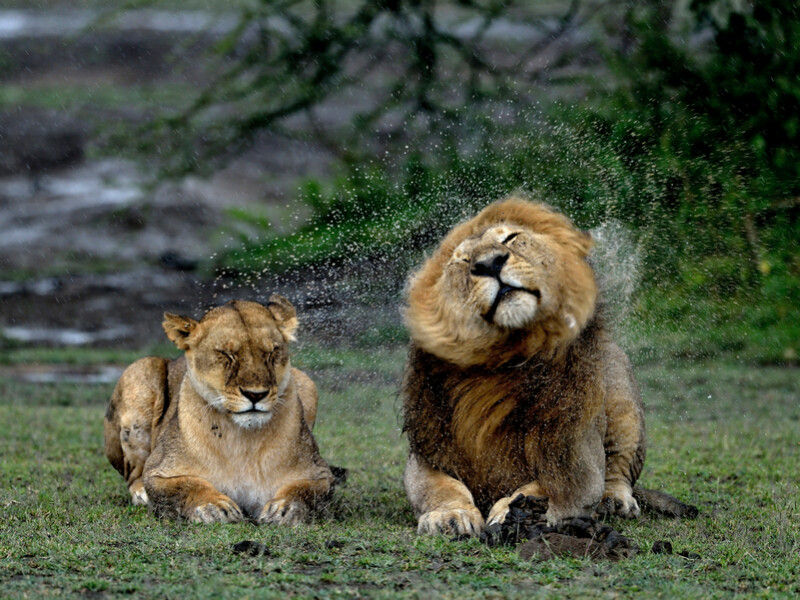 800x600 ORSH_Lions in love under the Rain