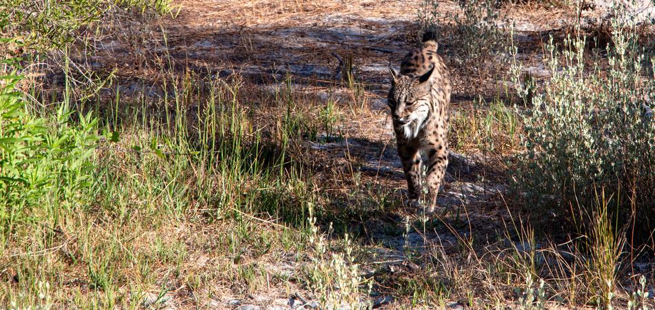 Lince del Parque Nacional de Doñana