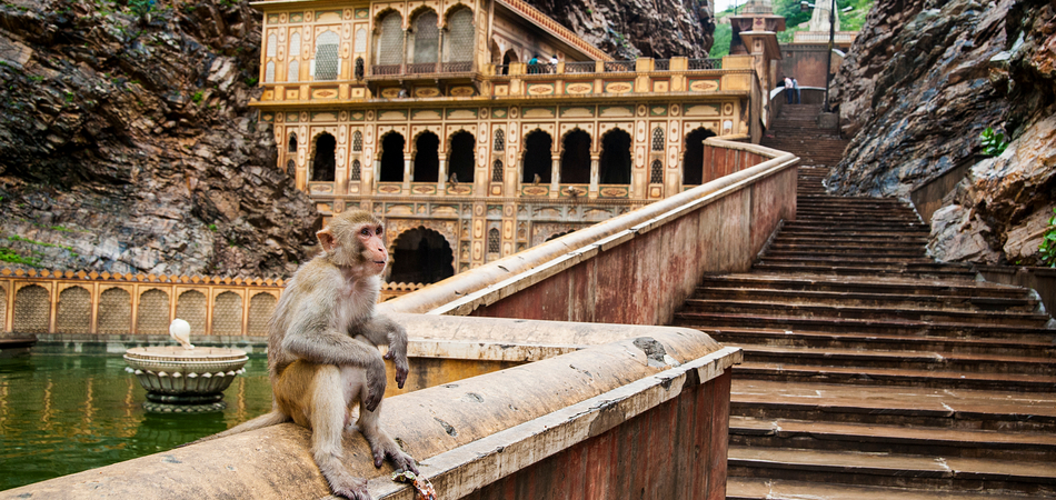 ORSH_A monkey inside Galtaji Hindu Temple or Monkey Temple near the city of Jaipur in Rajasthan, India._950x450