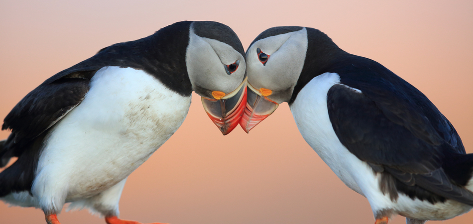 ORSH_Atlantic Puffin or Common Puffin, Fratercula arctica, Norway_950x450