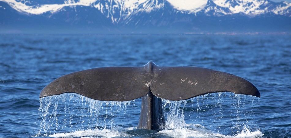 ORSH_The tail of a Sperm Whale diving_950x450