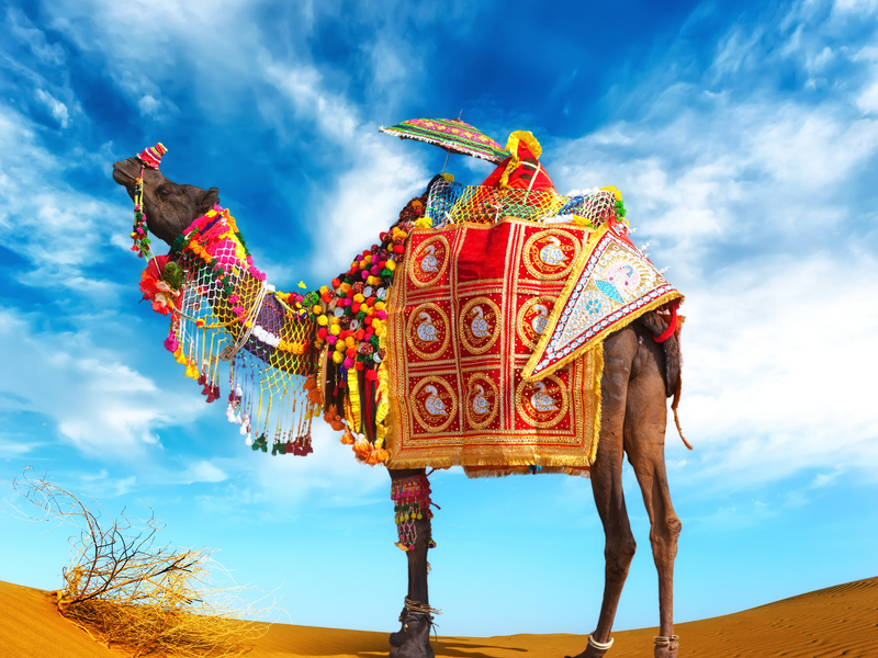 ORSH_Rajasthan Indian Camel. Travel to India photography_800x600