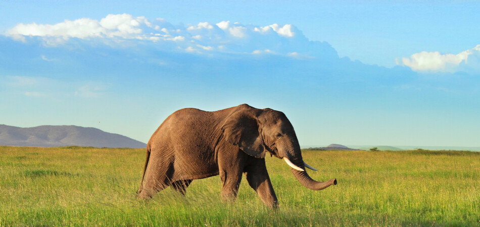950x450 ORSH_African elephant in the Serengeti
