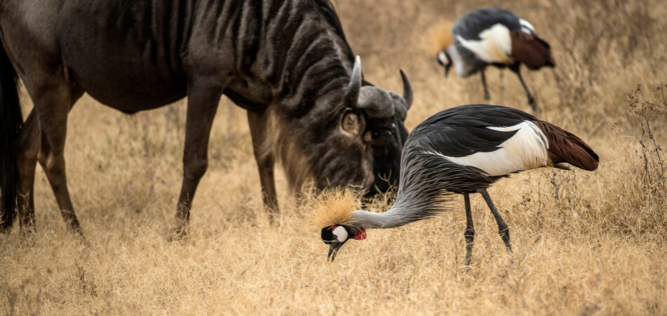 950x450 ORSH_Grey crowned crane, Tanzania, Africa