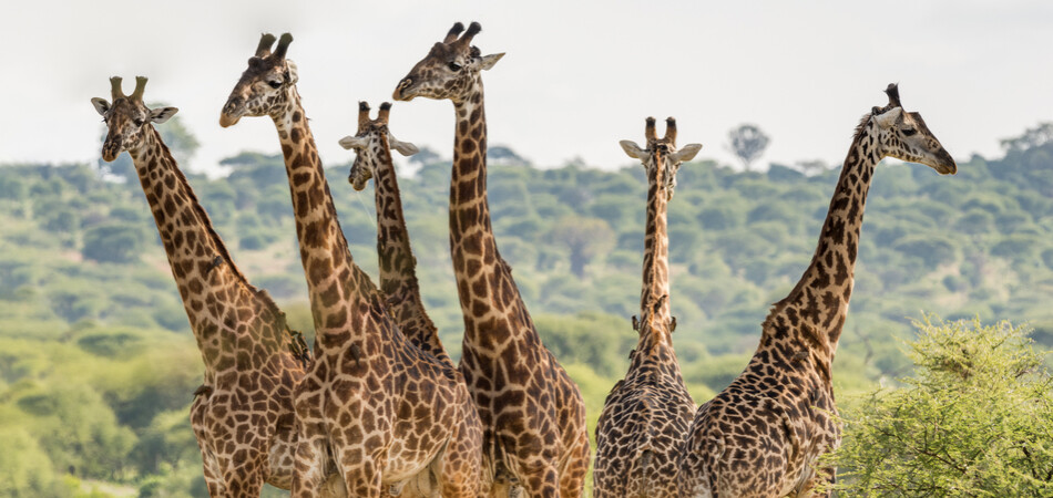 950x450 ORSH_Group of six giraffes in Tarangire National Park, Tanzania