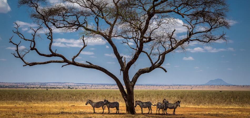 950x450 ORSH_Group of zebras r Tanzania.
