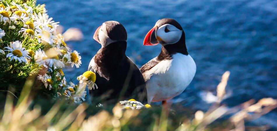 950x450 ORSH_Icelandic Puffin bird couple standing