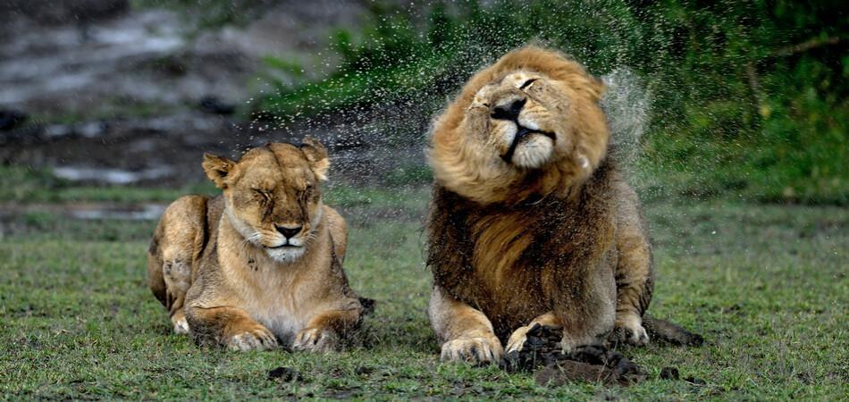 950x450 ORSH_Lions.