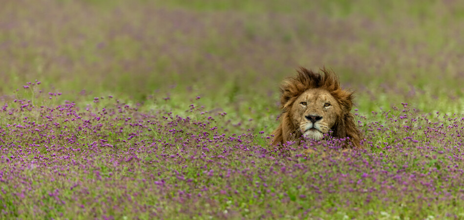 950x450 ORSH_big male lion in Ngorongoro