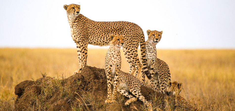 950x450 ORSH_cheetahs watching