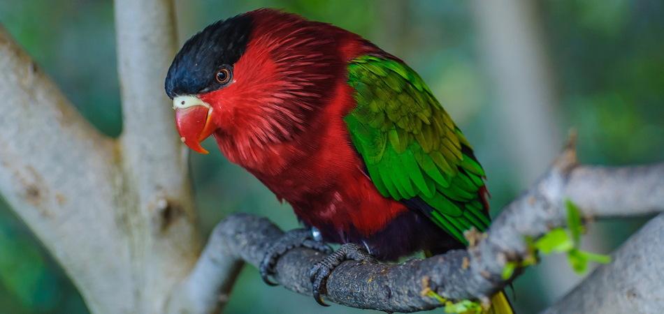 950x450 Red green bright parrot in Puerto de la Cruz, Santa Cruz de Tenerife,Tenerife, Canarian Islands