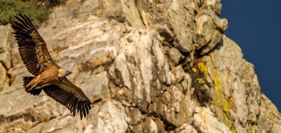 Griffon vulture, Gyps fulvus flying around Salto del Gitano in Monfrague National Park. Caceres, Extremadura, Spain.