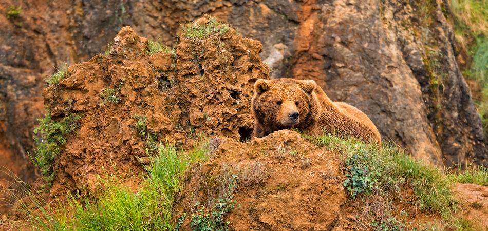 osos pardos norte de España